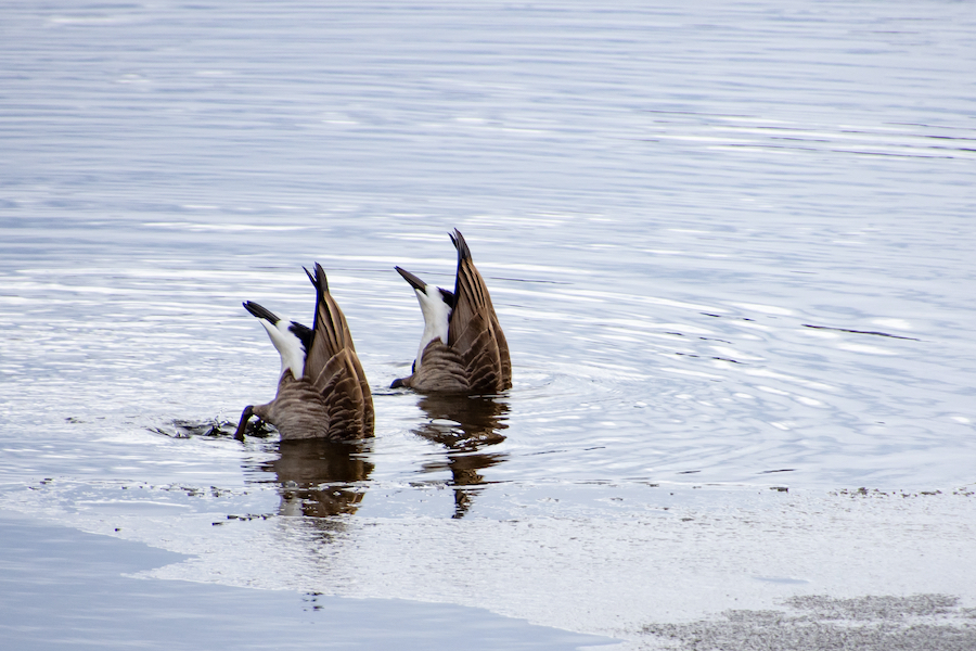 two ducks diving in a lake